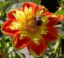 Bee in Dahlia