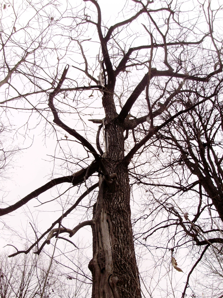 Can Anything Good Come From A Cottonwood Tree? (1/4)