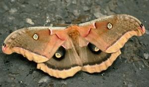 Emperor_Gum_Moth_GalawebDesign