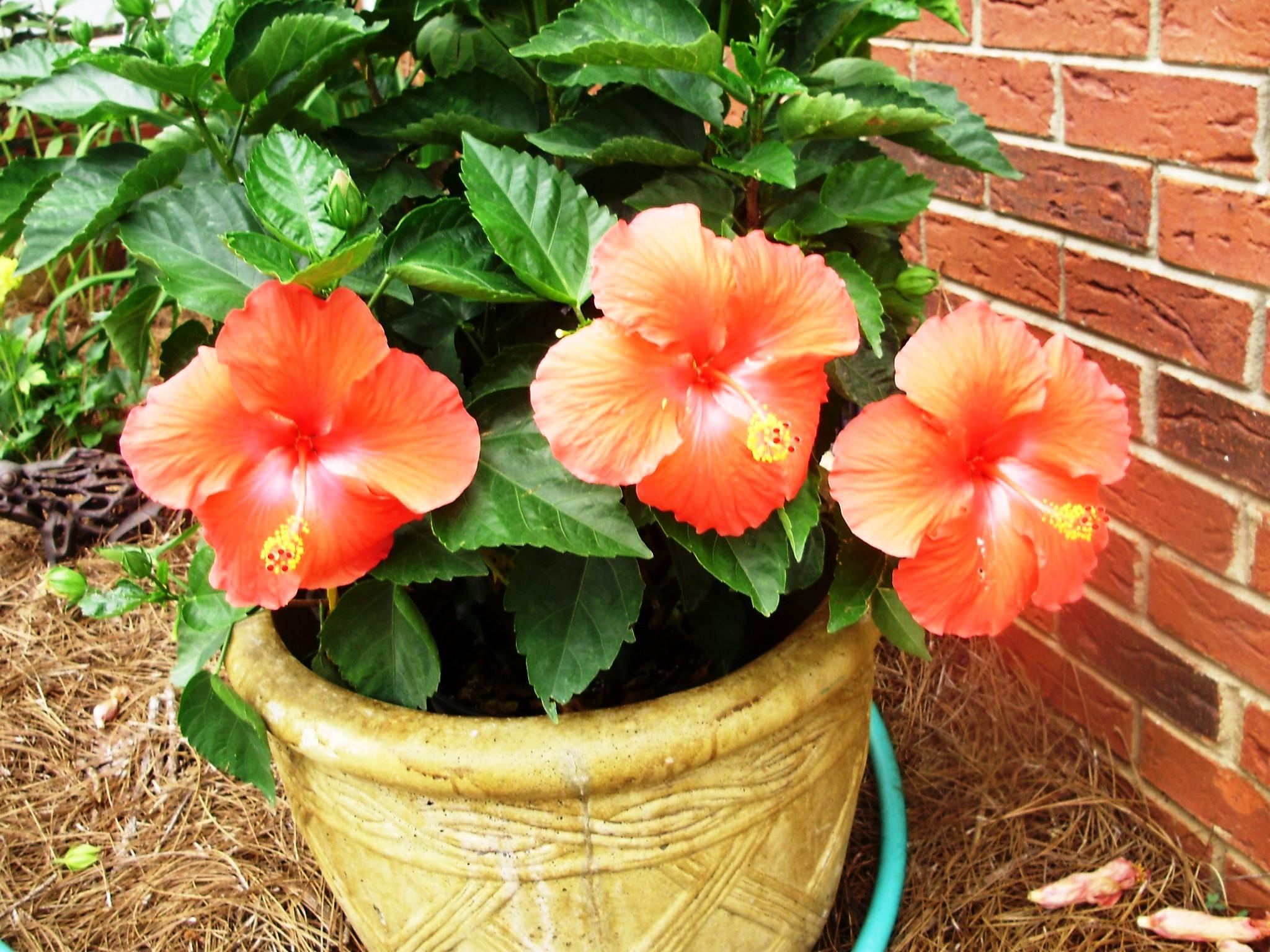 Beauty in nature allinthedayofme hibiscus izmirmasajfo